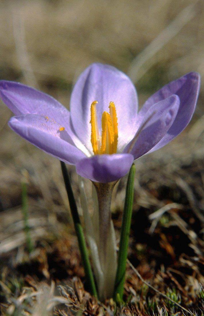 Crocus carpetanus. (LAC)(JC)