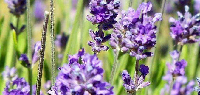 plantas_aromaticas